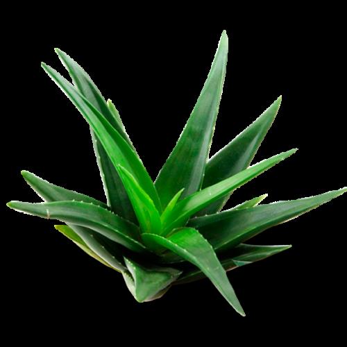 Aloe vera la fruta en casa - Planta de aloe vera precio ...